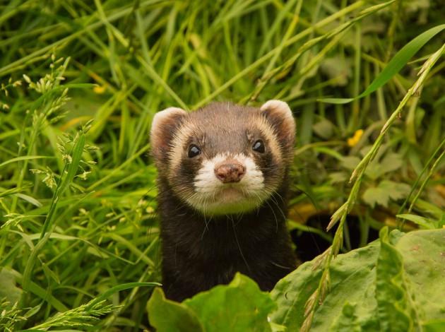 mammals-ferrets-STEM-night-Dover